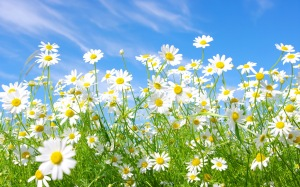Daisies-Meadow